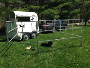 Peggy Sue trying out the portable corral I'd set up to be sure all was working properly.
